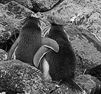 Two Southern Rockhopper Penguins arm in arm , Amsterdam Island, Southern Indian Ocean