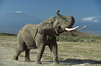 Male African elephant with Mount Kilimanjaro in the background, Amboseli, Kenya