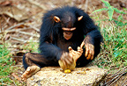 Young chimpanzee breaking a palm nut with a stone, Gabon