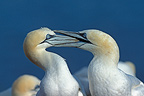 Northern Gannet fighting over territory, Quebec, Canada