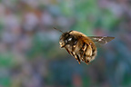 Female Anthophora bee in flight, France