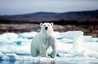 Polar bear on ice, Boothia Peninsula, Canada