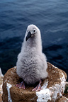 Black-browed Albatross chick, Falklands