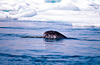 Narwhal, Bellot Strait, Canadian Arctic