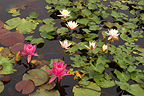 Mixed water lilies, Latour-Marliac, France