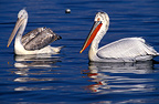 Adult Dalmatian Pelican and young, Lake Kerkini, Greece