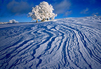 Beech trees and snow in winter, Jura, France