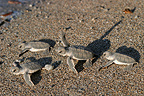 Young green sea turtles walking towards the sea Mayotte