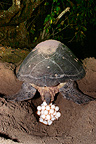 Green sea turtle laying its eggs Mayotte Comoros