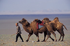 Bactrian camel and camel driver, Mongolia