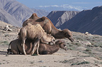 Female Bactrian camel and young, China