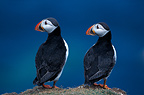 Pair of Atlantic Puffins on the ground, Orkney, Scotland