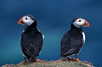 Pair of Atlantic Puffins, Orkney, Scotland