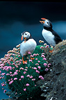 Pair of Atlantic Puffins calling, Orkney, Scotland