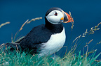 Atlantic Puffin, Orkney, Scotland