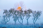 Dancing trees in winter, Clairvaux, Jura, France