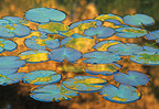 Light reflecting on water and  leaves of waterlilies, France