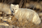 Arctic fox in its winter coat, Canada