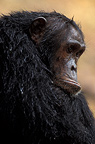 Portrait of a common chimpanzee, Gombe, Tanzania