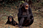 Female chimpanzee and young Gombe Tanzania