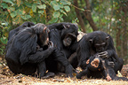 Chimpanzees grooming in groups Gombe Tanzania