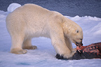 Polar bear tearing prey apart on the pack ice, Norway