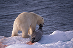 Polar bear pulling its prey out of the water, Svalbard, Norway