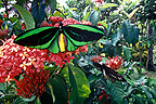 Queen Alexandra's Birdwing butterfly on a Jungle Flame, Papua New Guinea