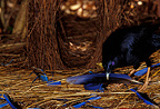 Male Satin Bowerbird courting and dropping blue objects, NSW, Australia