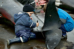 Hunted Long-finned pilot whale, Faroe Islands (150 killed)