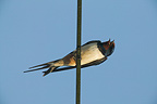 Adult male Barn swallow perched on a wire and singing, France