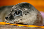 Picardie Nature Surveillance saving Harbor Seals, France