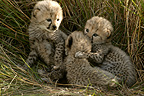 Two-week-old cheetah cubs, Masai Mara, Kenya