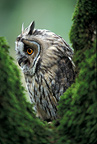 Long-eared Owl in the fork of a tree, France