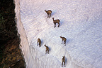 Group of young chamois in the snow in the Alps, France