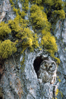 Boreal Owl in its hole, Alps, France