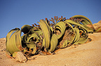 Welwitschia  specimen up to 1500 years old, Namibia