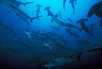 Scalloped hammerhead sharks, Malpelo, Colombia