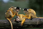 Black-capped squirrel monkeys (Bolivian squirrel monkeys) grooming each other