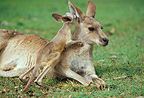 Female Eastern Grey Kangaroo and joey, Australia