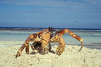 Coconut crab walking on the sand, Aldabra, Seychelles