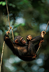 Young Chimpanzee on a liana, Gabon