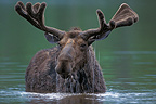 Male moose, Baxter State Park, Maine, USA