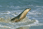 Female Australian Sea Lion, South Australia