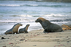 Male Australian Sea Lion with female & young, South Australia