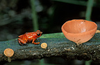 Strawberry poison frog and mushroom Cahuita, Costa Rica