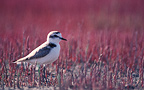 Kentish Plover in salicornia, France