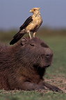 Yellow-headed Caracara on a capybara's head, Llanos, Venezuela