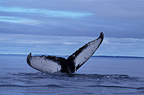Humpback whale tail, Canada