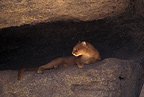 Jaguarundi lying under a rock, Sonora Desert Museum, USA
